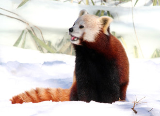 Red Panda enjoying Snow