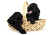 Two cute American Cocker Spaniel puppies in yellow basket.