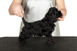 American coker spaniel puppy with professional dog handler.