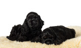 Two cute American Cocker Spaniel puppies on soft underlay.