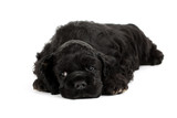 American Cocker spaniel puppy sleeping. Isolated on white.