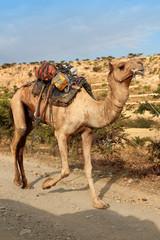 dromedari in Etiopia