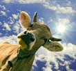 Glückliche, braune Kuh vor blauem Sommer-Himmel