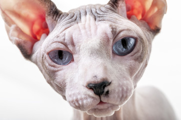 Canadian Sphynx cat portrait close-up on white background
