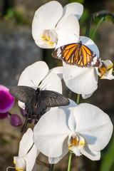 胡蝶蘭に留まった2匹の蝶