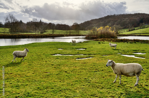 Sheep by a lake in the Winster Valley, Cumbria.