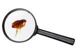Fototapety Dog or cat flea under real magnifying glass over white