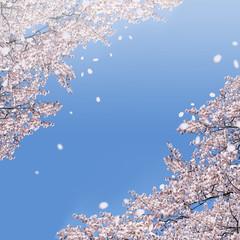青空に舞う桜