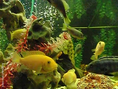 Floating herbivorous cichlids