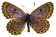 Scolitantides orion (Chequered Blue)