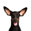 Cute ears of dobermann dog isolated on white