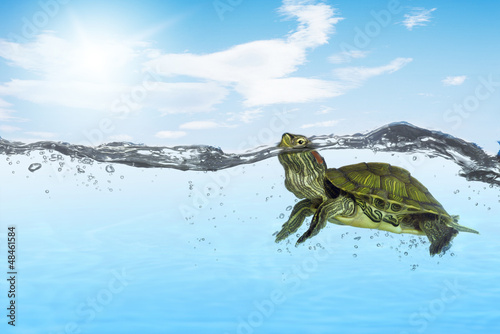 turtle swimming to wild