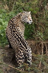 A Jaguar Strikes a Pose