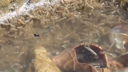 Amphipods gathered at surface of water near a rock