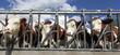panoramic cows