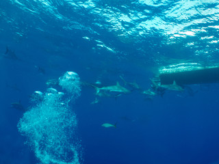 Caribbean reef sharks (Carcharhinus perezi)