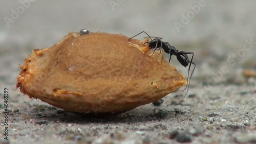 Ants trying to eat a seed