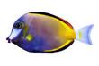 Japonicus fish