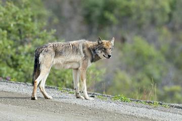 A grey wolf looking at you in Denali Park, Alaska