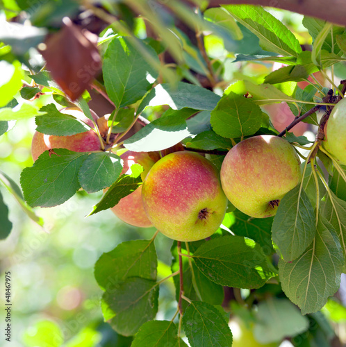 Red apples on apple tree