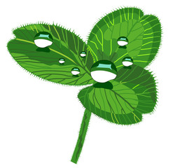 beautiful clover with drops