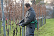Vintner is pruning in the vineyard