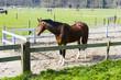 Beautiful bay horse behind a farm fence