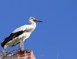 Stork standing on The Old Brick Chimney