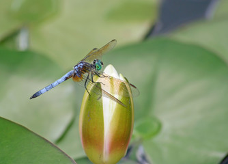 Dragonfly on Waterlily Bud