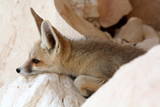 A Fennec Fox, Relaxing