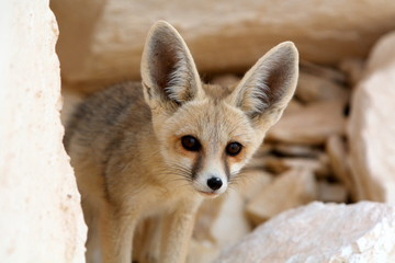 A Desert Fox, Watching its Prey