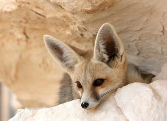 A Desert Fox Portrait