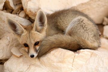 A Desert Fox, Resting