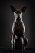 Portrait of xoloitzcuintle dog