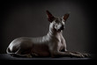 Hairless xoloitzcuintle dog on low key photo