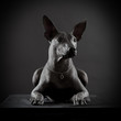 Portrait of Mexican xoloitzcuintle dog