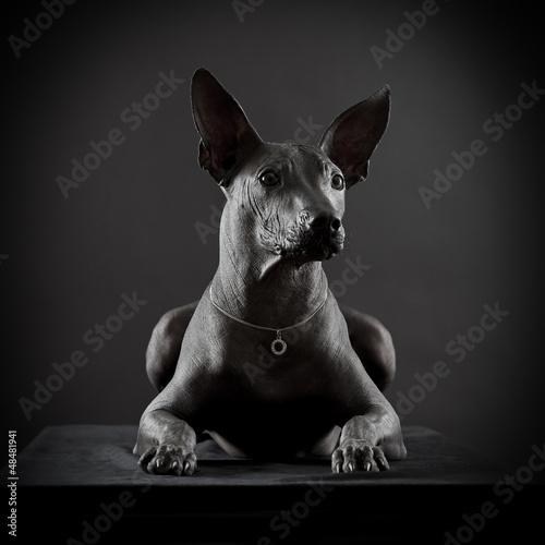 Portrait of Mexican xoloitzcuintle dog