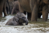 funny elephant baby in water, Pinnawala, Sri Lanka, Asia