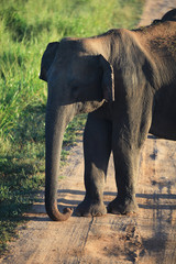 indian elephant portrait, Udavalave national park, Sri Lanka, As