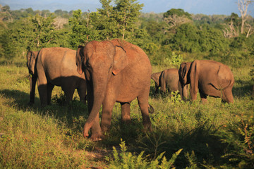 elephant herd in Udavalave national park , Sri Lanka, Asia