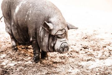 Vietnamese pot-bellied pig. Sus scrofa var. domestica.