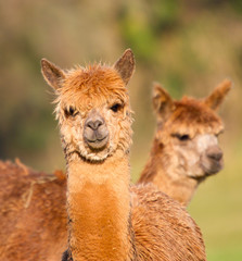 Brown Alpacas like Llamas