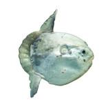 Ocean sunfish (Mola mola) in captivity poster