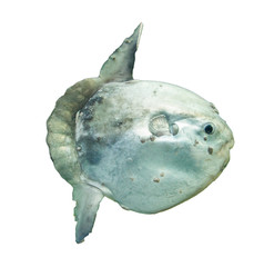 Ocean sunfish (Mola mola) in captivity
