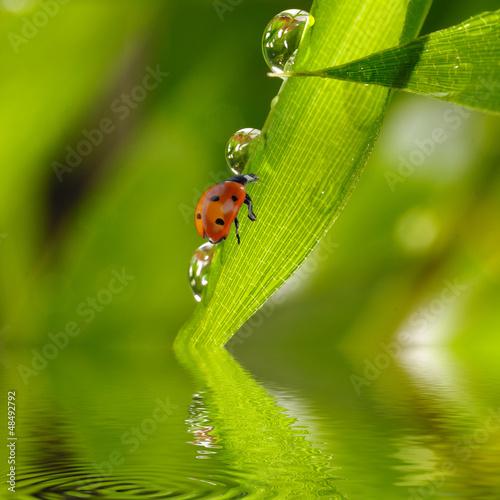 Marienkäfer auf Bambus mit Wassertropfen