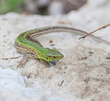 green lizard in the nature