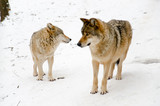 Two wolves in winter.