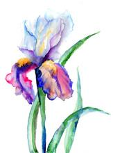tęczówki kwiaty
