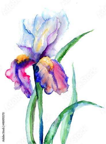 Iris flowers - 48495570