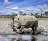 Fototapete White rhino - Wild - Säugetiere